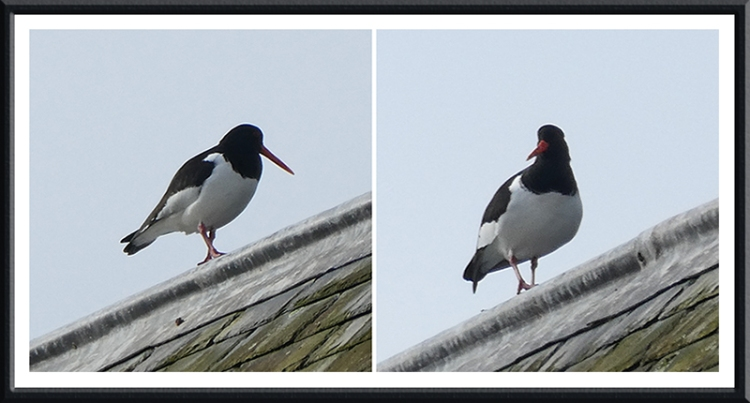 oyster catchers on church roof