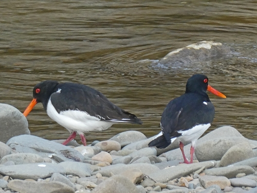 pair of oyster catchers