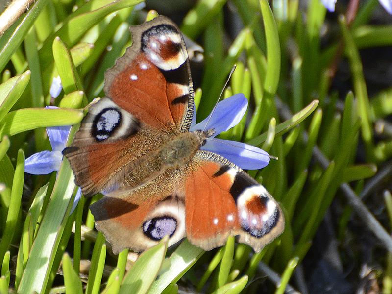 peacock butterfly on chionodoxa