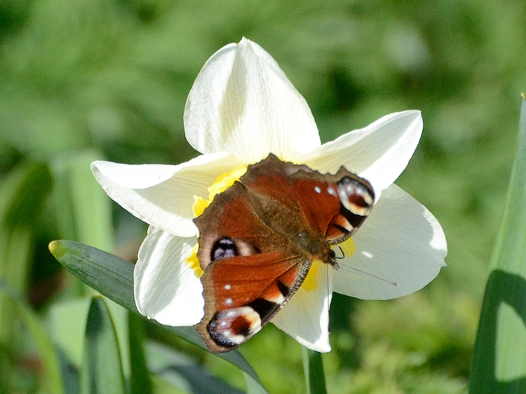 peacock butterfly on daff