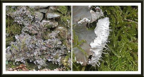 peltgera lichen