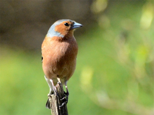 perching chaffinch on stalk