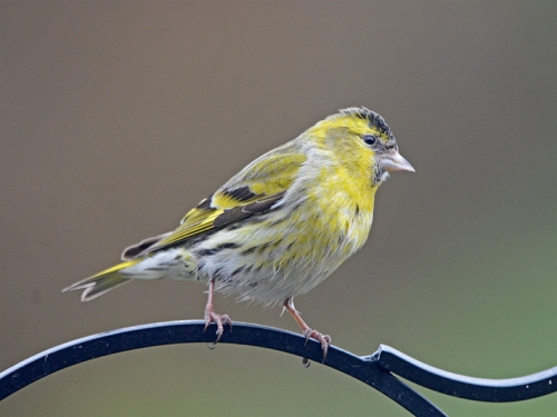 perching siskin