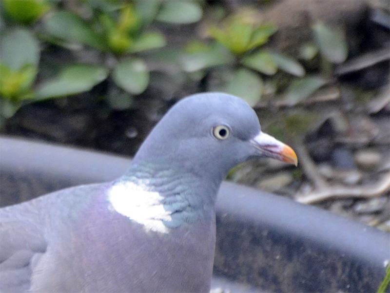 pigeon head and shoulders