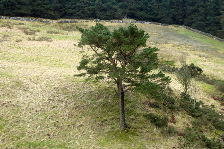 pine at Mosspaul