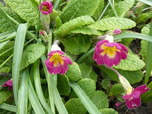 primroses garden