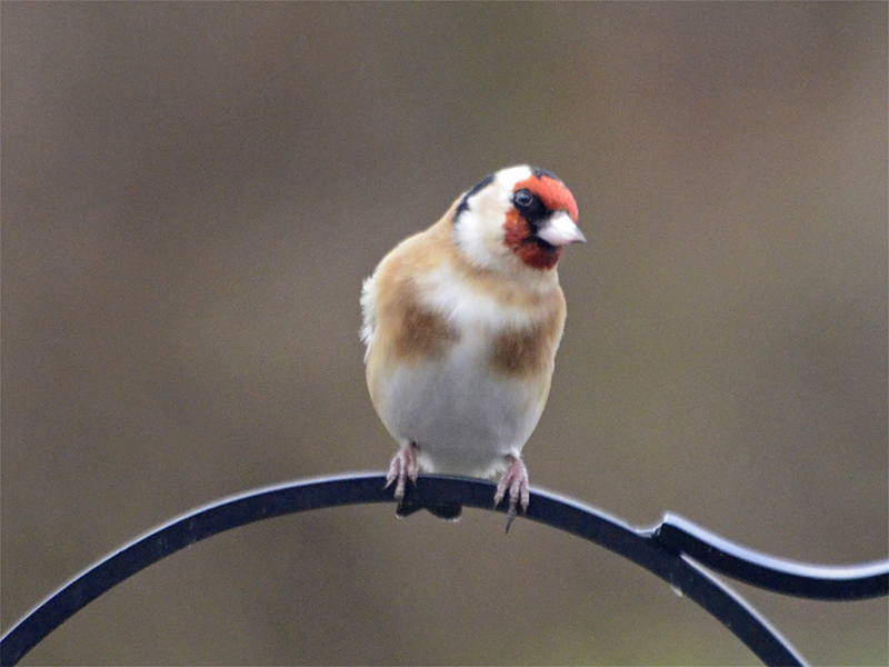quizzical goldfinch