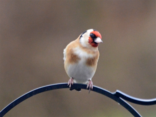 quizzical goldfinch