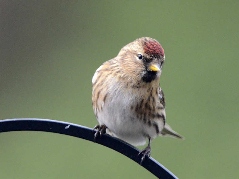 quizzical redpoll