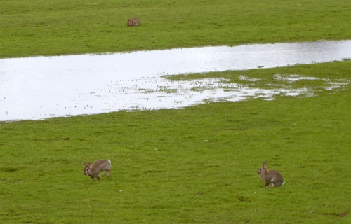 rabbits at annan bridge