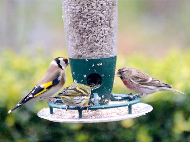 redpoll goldfinch siskin