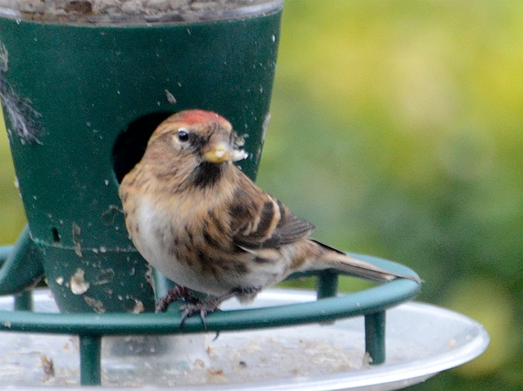 redpoll looking round