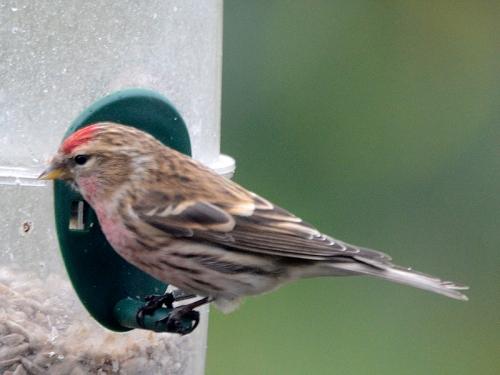 redpoll opn feeder