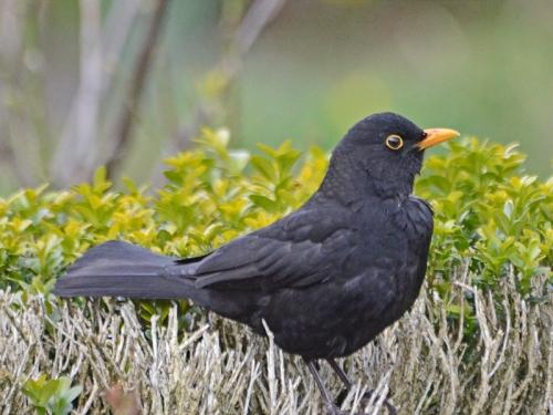 resident blackbird