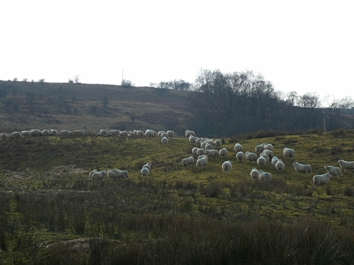 sheep at skipperscleuch