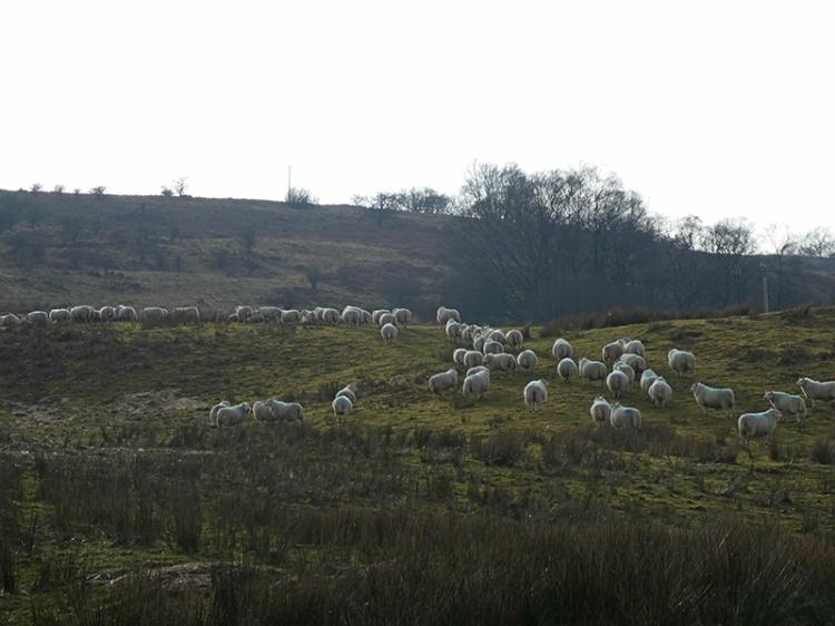 sheep at skipperscleuch