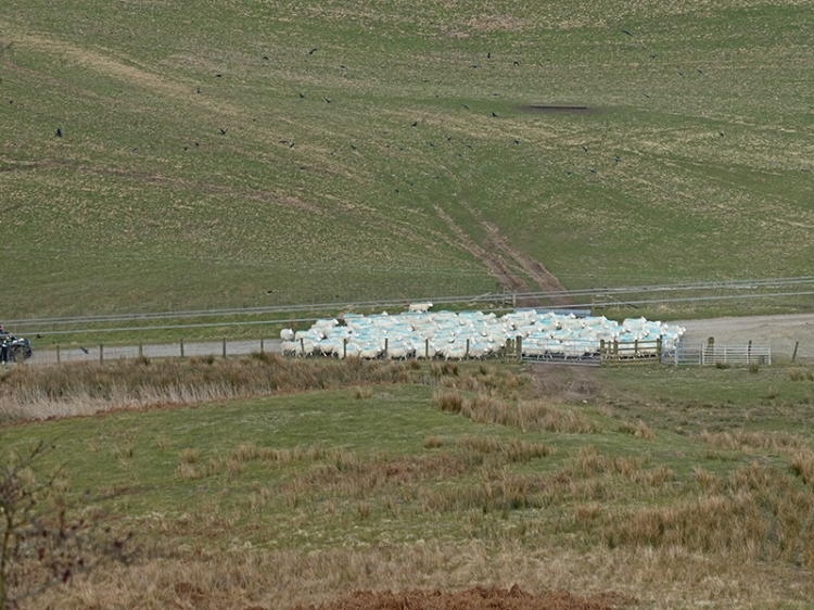 sheep gathering below warbla