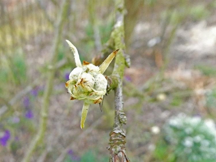 silver pear bud