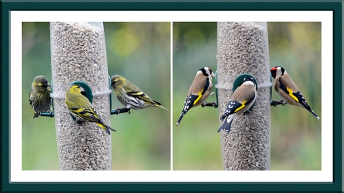 siskin and goldfinch trios