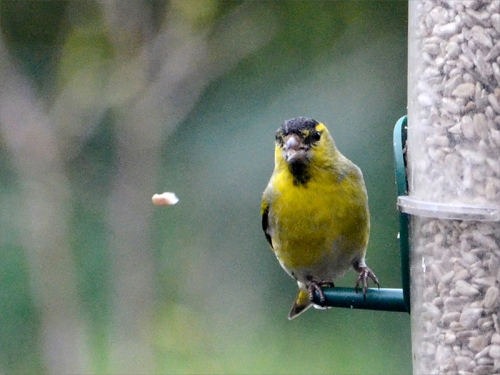 siskin dropping food
