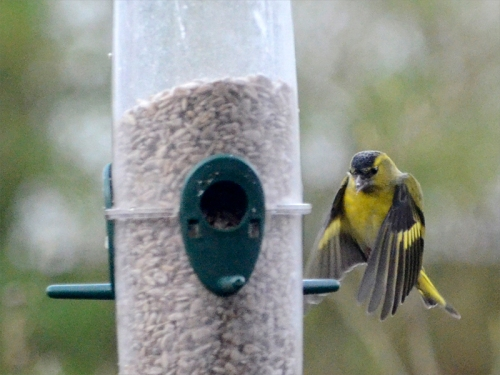siskin round the back