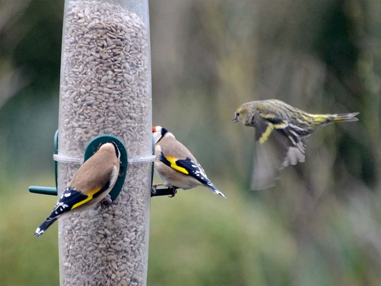 siskin threatening two goldfinches