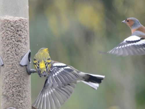 siskin watchinmg chaffinches
