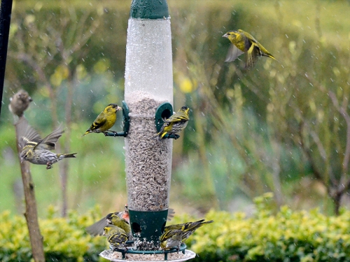 siskins in the rian