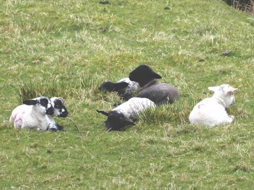 six lambs