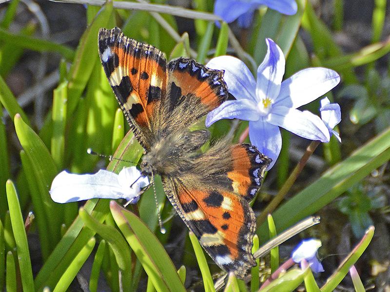 small totoiseshell butterfly on chionodoxa
