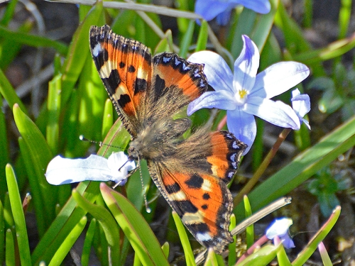 small totoiseshell butterfly on chionodoxa