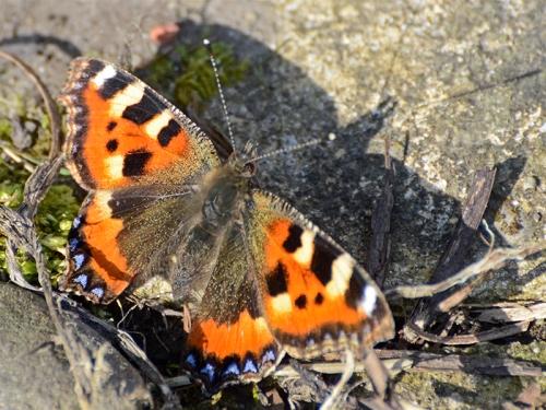 small totoiseshell butterfly sunning