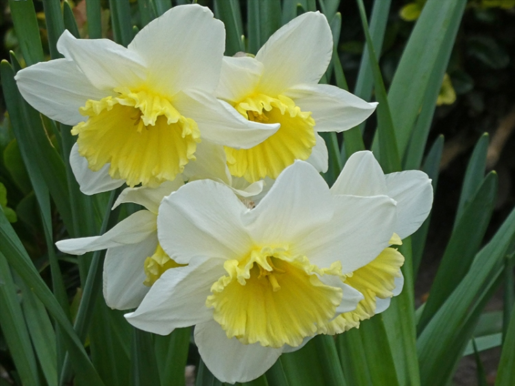 square of daffodils