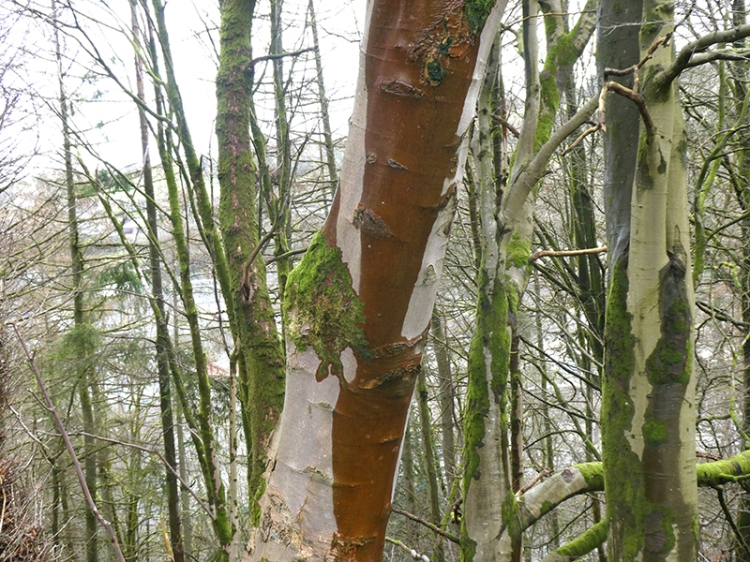 stained birch tree