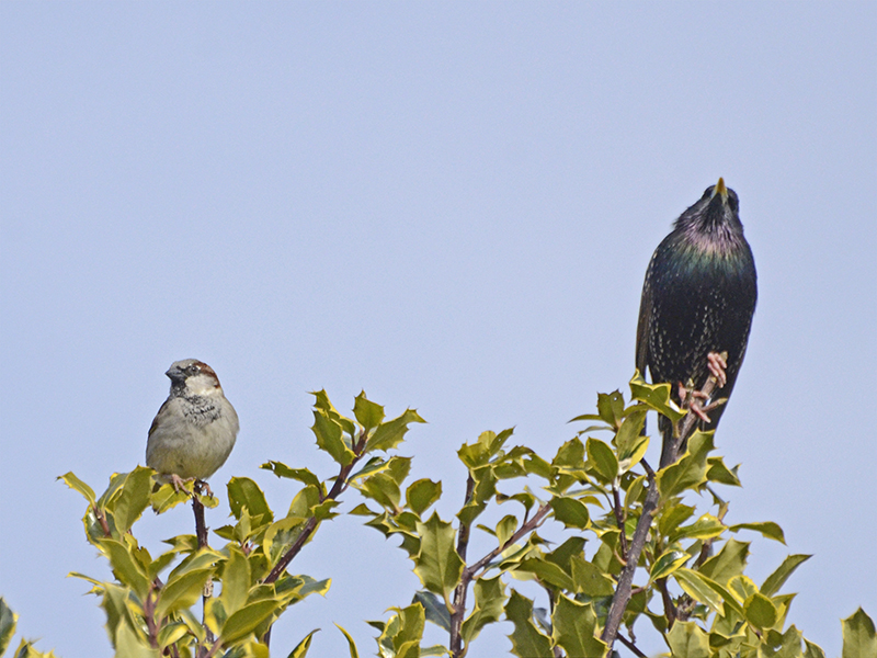 starling and sparrow