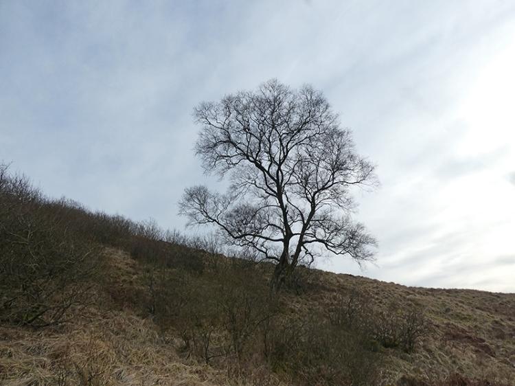 tarras tree