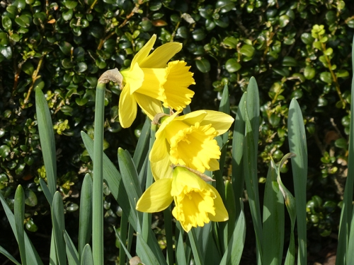 three daffodils garden