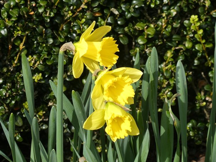 three daffodils garden