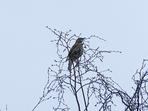 thrush at church