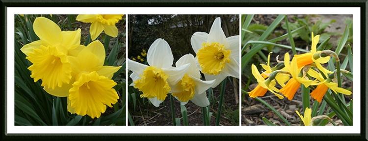 triple daffodil panel