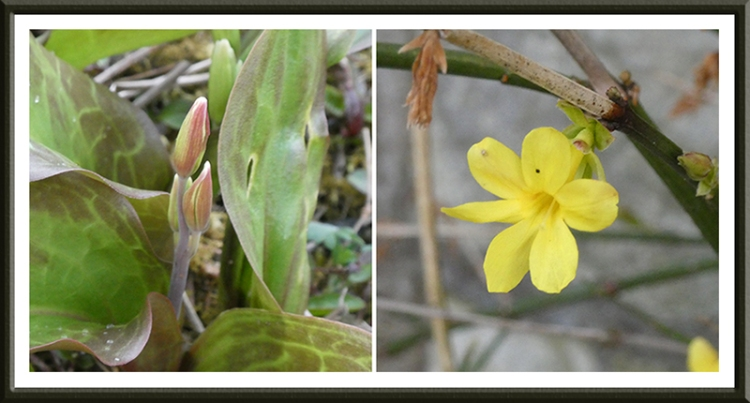 trout lily and jasmine