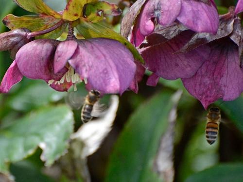 two bees n hellebore