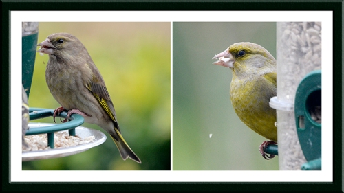 two greenfinches