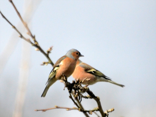 two male chaffinches sun
