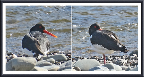two oyster catchers