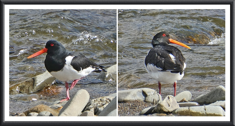 two oyster catchers esk