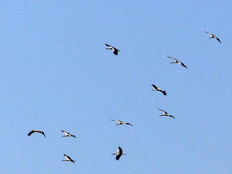 Venetia's Moroccan storks