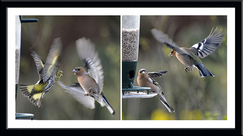warring birds