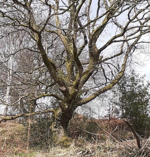 welsh tree