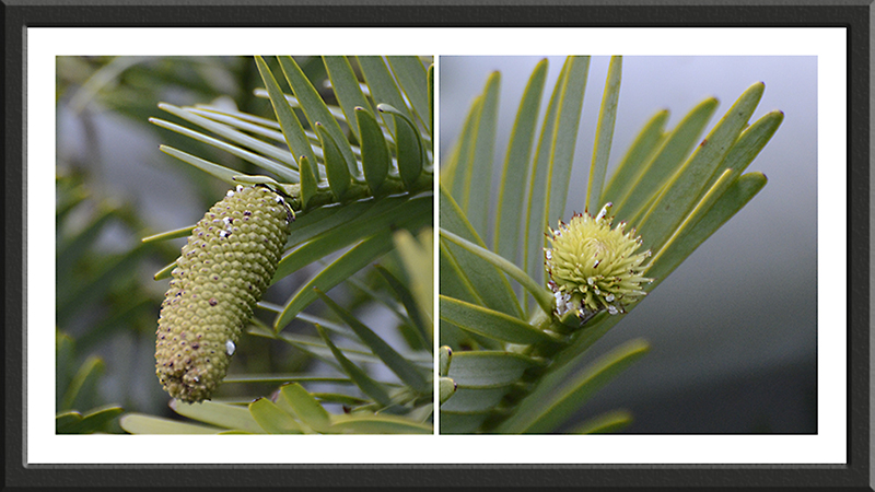 wollemi pine with cones